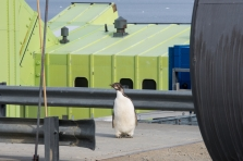 Juvenile Emperor penguin visiting the station