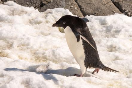 Adèlie penguin