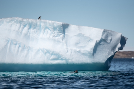An adèlie penguin looks on from the saftey of the iceberg as a leopard seal takes apart one his mates.
