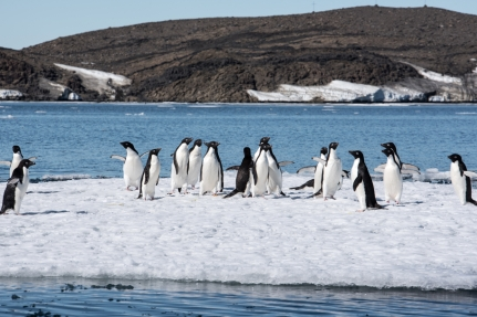 Adèlie penguins on a ice floe on the way to Bluff island