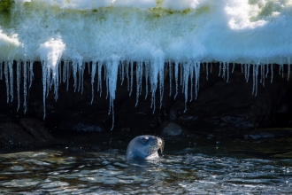 Weddell seal at thenorthern end of Bluff Island