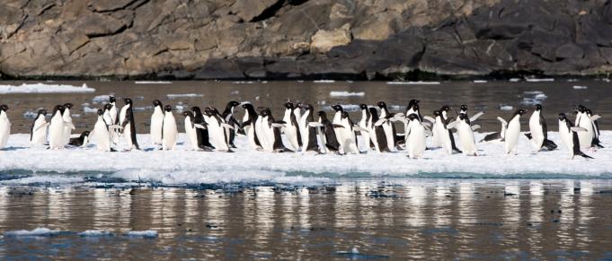 Adèlie penguins near Bluff island