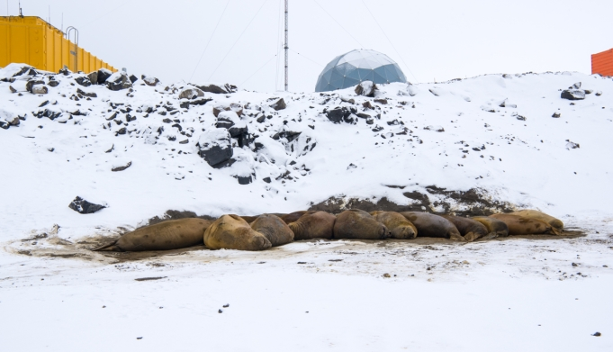 The elephant seal wallow down from the ANARE Satellite Dome