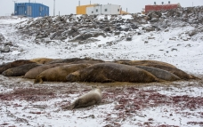 A Weddell seal that thought he was an elephant seal