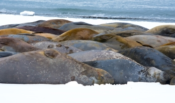 Elephant seals huddle together - to conserve heat and energy
