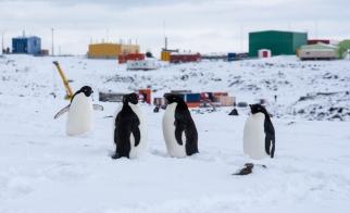 Adèlie penguins on the peninsula - to Marchents Landing