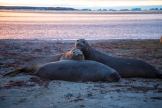 3 young elephant seals playing on the beach