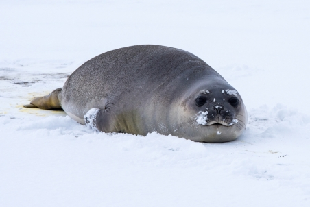 Young elephant seal on the snow covered beach